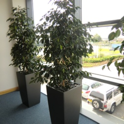 office-plants-ficus-benjamina-charcoal